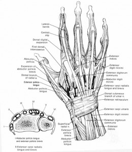 Diagram of the anatomy of the human hand
